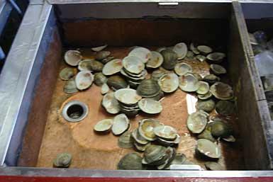 coney-clamshells