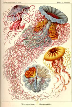 haeckel-jellyfish