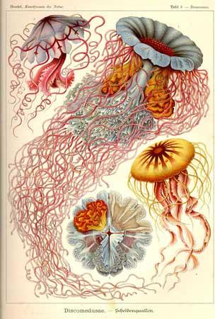 haeckel-jellyfish
