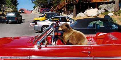 beareatsincar_tahoe.jpg